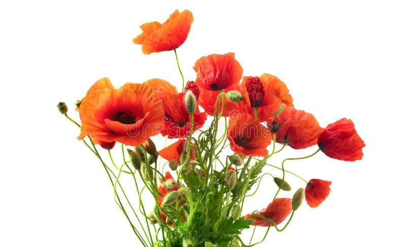 Le pavot rouge fleurit le plan rapproch? Bouquet des pavots de floraison d'isolement sur le petit morceau photos libres de droits