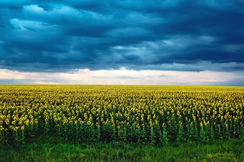Le paysage agricole avec des tournesols mettent en place et des nuages de tempête sur le coucher du soleil image stock