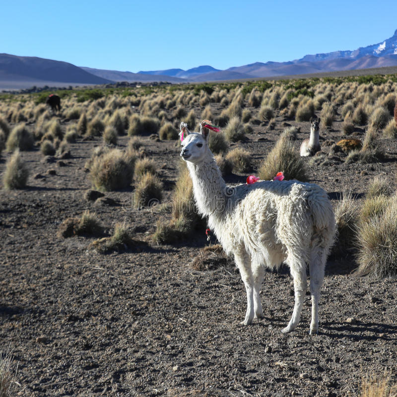 Le paysage andin avec le troupeau de lamas images libres de droits