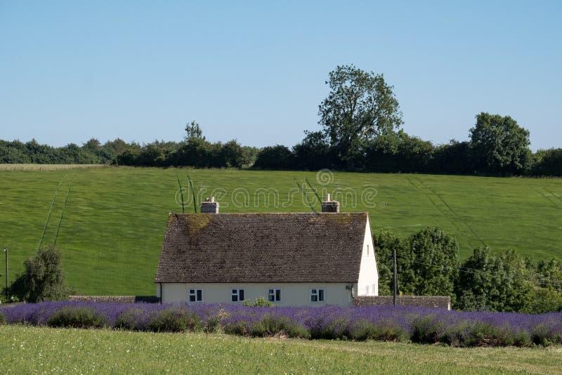 Le paysage anglais rural avec la lavande de négligence de maison blanche met en place à une ferme de fleur dans le Cotswolds Coll photographie stock