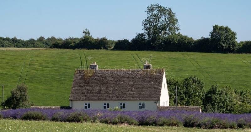 Le paysage anglais rural avec la lavande de négligence de maison blanche met en place à une ferme de fleur dans le Cotswolds Coll images stock
