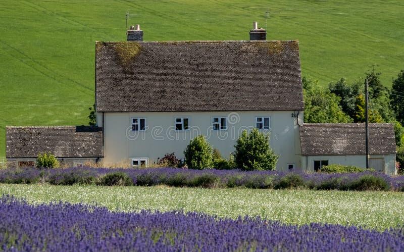 Le paysage anglais rural avec la lavande de négligence de maison blanche met en place à une ferme de fleur dans le Cotswolds Coll photos libres de droits