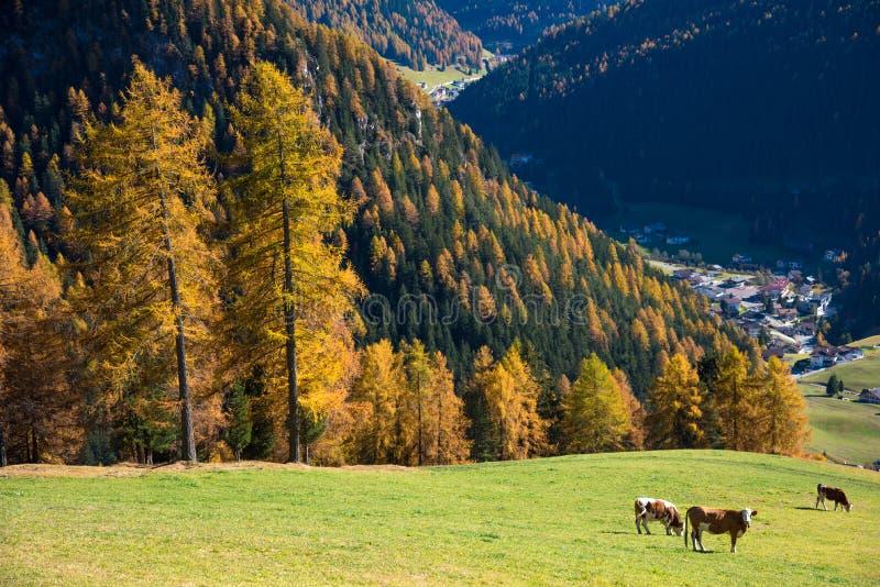 Le paysage avec du charme avec des vaches dans le pré dans les Alpes tombent Dol images libres de droits