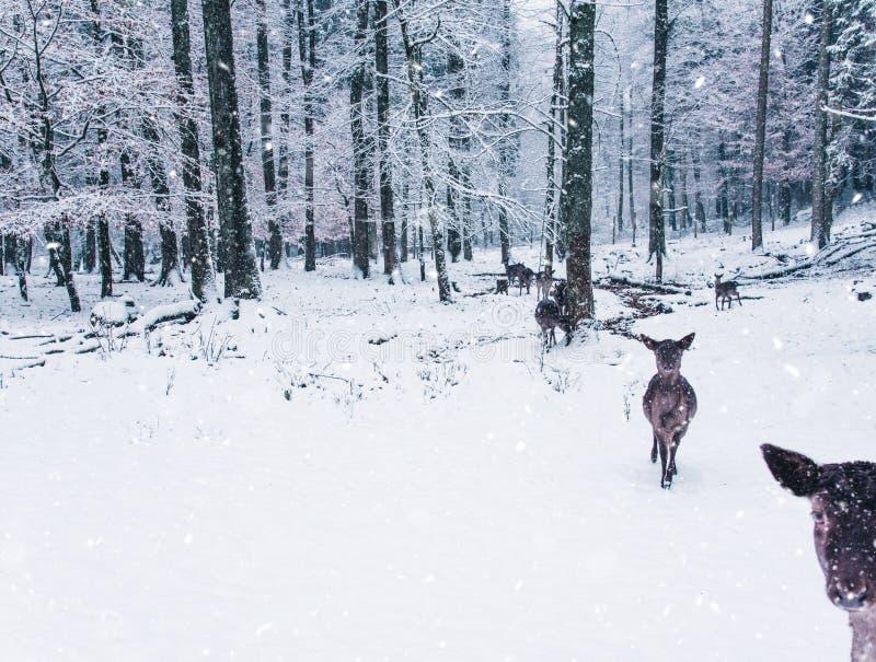 Le paysage de faune d'hiver avec des jeunes fait photo libre de droits
