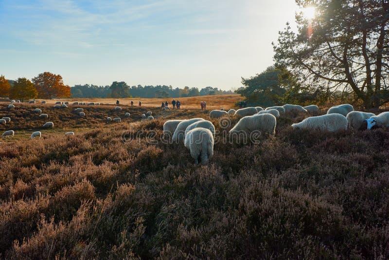Le paysage de Heather avec frôler des moutons en automne s'allument photographie stock