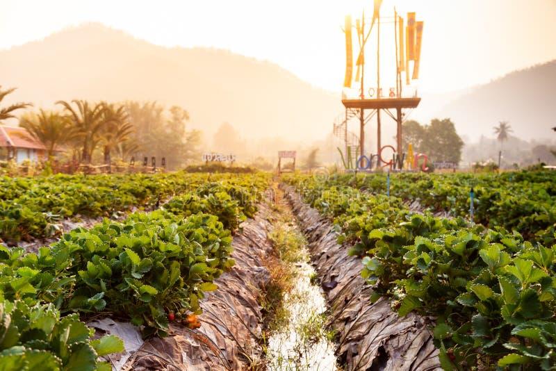 Le paysage de la fraise fraîche porte des fruits ferme et rangée de la fraise photographie stock libre de droits
