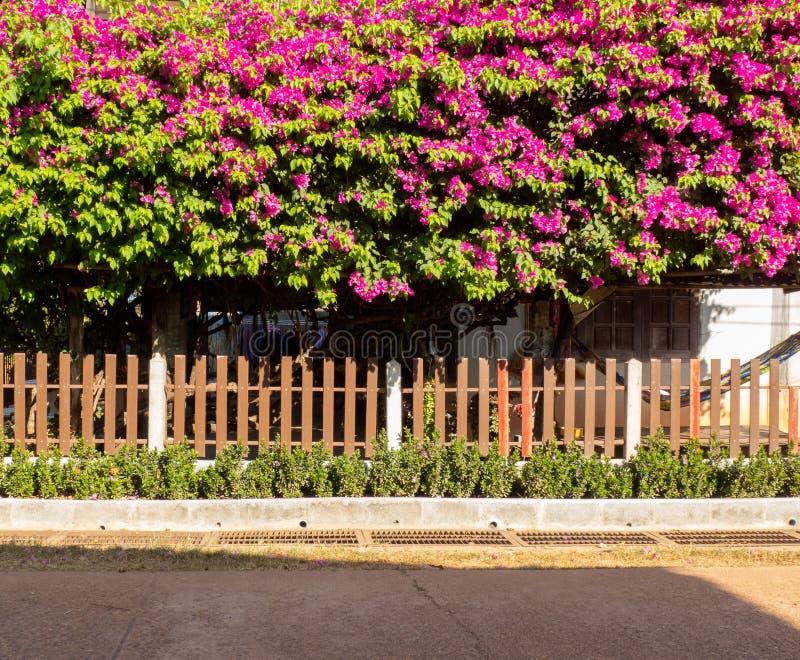 Le paysage de rue des fleurs de bouganvillée est très beatyful images stock