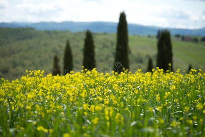 """Le paysage de Val d """"Orcia avec les fleurs jaunes dans le premier plan, Toscane images stock"""