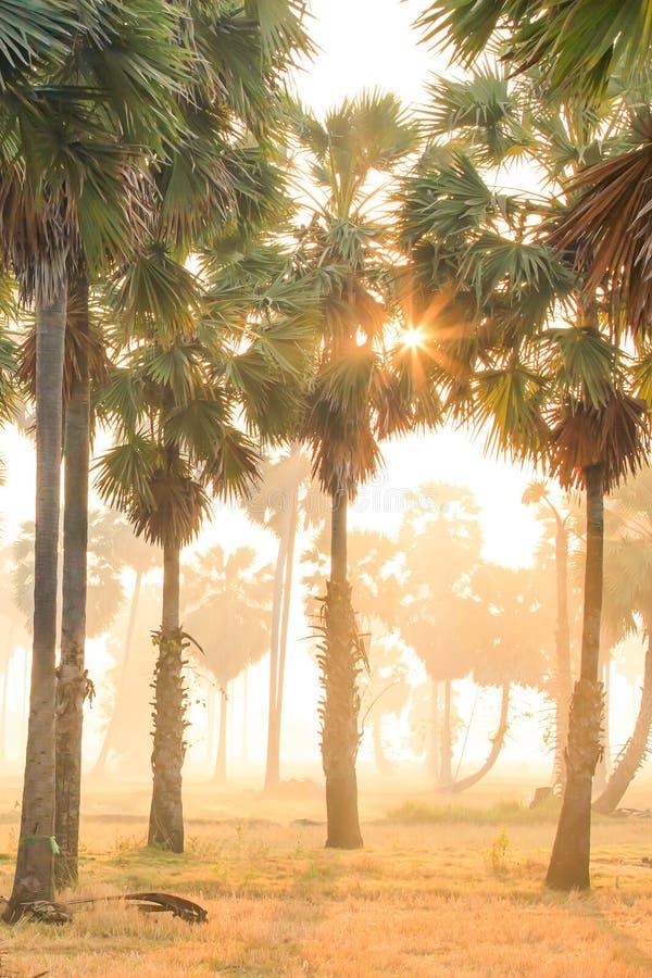 Le paysage fantastique des palmiers et du champ dans la lumière de matin, lever de soleil d'or brille vers le bas autour des paum photo stock