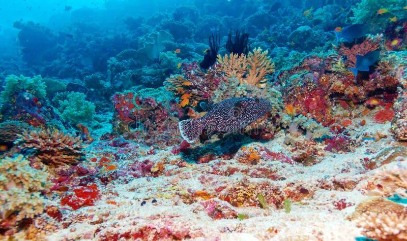 Download Le Paysage Sous-marin Avec Des Poissons De Boîte S'approchent De Coral Reef Tropicale Image stock - Image du noir, horizontal: 77159341