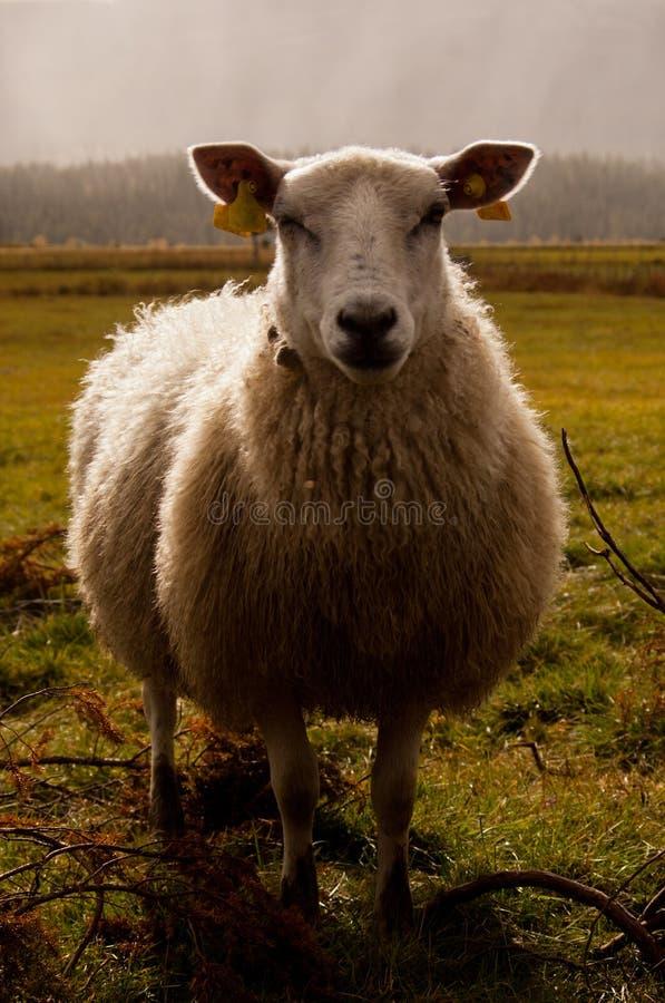 Le pecore fotografia stock libera da diritti