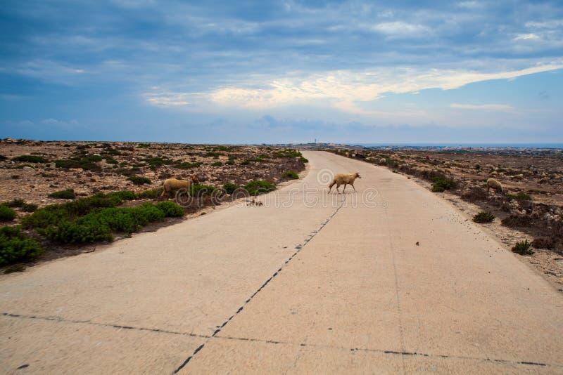 Le pecore attraversano la strada nella campagna di Lampedusa fotografie stock