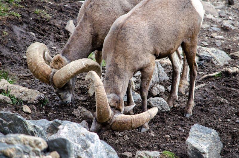 Le pecore Bighorn leccano i minerali nelle rocce immagine stock libera da diritti