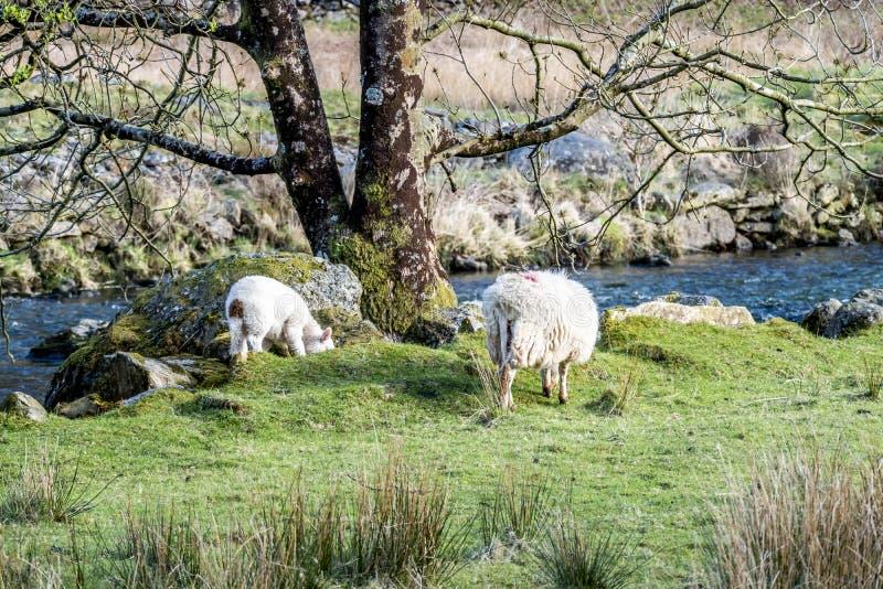 Le pecore che pascono in Lingua gallese abbelliscono vicino al fiume fotografie stock libere da diritti