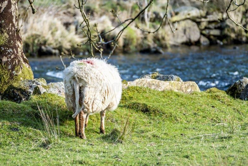 Le pecore che pascono in Lingua gallese abbelliscono vicino al fiume fotografia stock