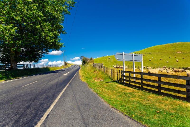 Le pecore della Nuova Zelanda si affollano il pascolo nella collina verde bella immagine stock
