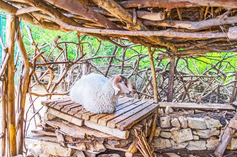 Le pecore di sonno fotografia stock libera da diritti