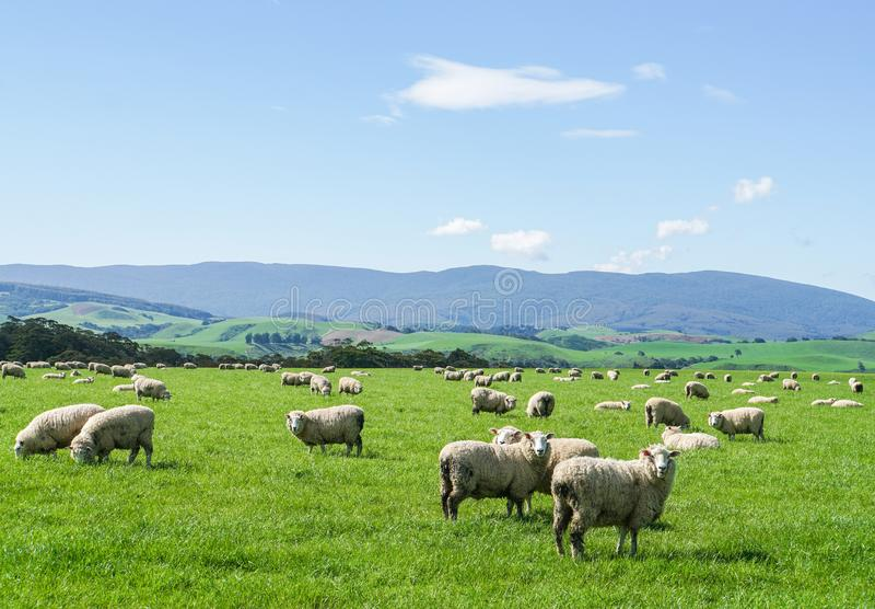 Le pecore lanuginose bianche radunano sull'iarda verde alla collina in Nuova Zelanda per l'agricoltura immagini stock