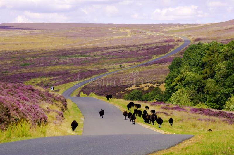 Le pecore nere su Spaunton attraccano, York del nord attraccano immagine stock libera da diritti