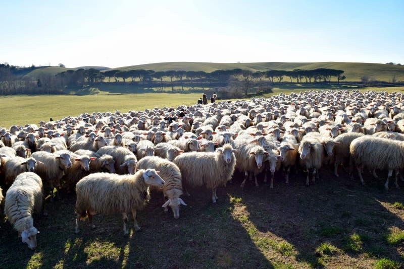 Le pecore pascono vicino a Orvieto, Terni, Italia fotografia stock