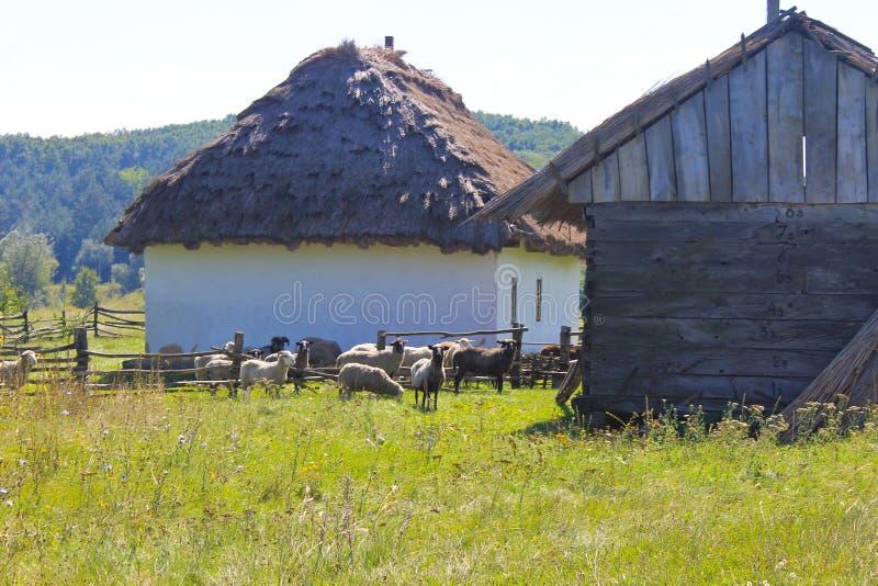 Le pecore si avvicinano al vecchio granaio immagine stock
