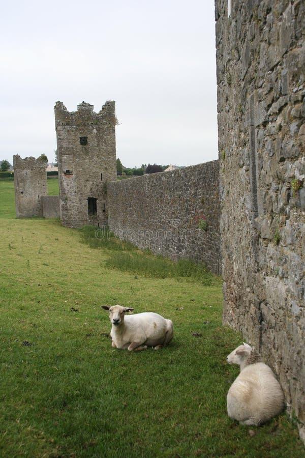 Le pecore si distendono al Priory di Kells immagini stock