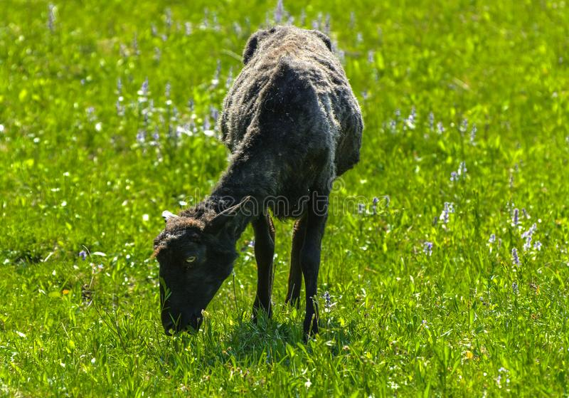Le pecore sono nere Un animale con una grande pelliccia nera di turbine g fotografia stock libera da diritti