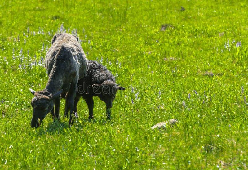 Le pecore sono nere Un animale con una grande pelliccia nera di turbine g immagine stock