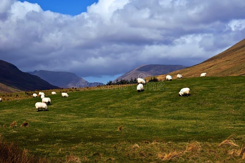 Le pecore su una montagna parteggiano in Irlanda ad ovest fotografia stock