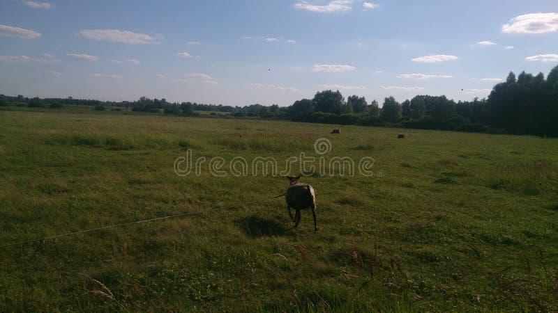 Le pecore sul campo fotografia stock libera da diritti