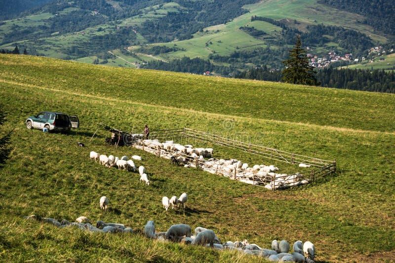 Le pecore tradizionali pascolano in montagne di Pieniny, Polonia fotografia stock libera da diritti