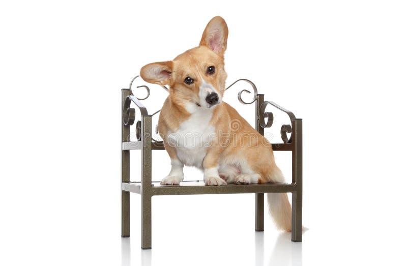 Le Pembroke de corgi se repose sur la chaise image libre de droits