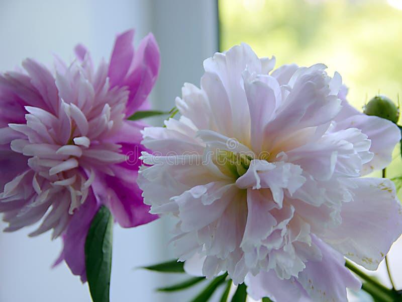 Le peonie di fioritura luminose fresche fiorisce con le gocce di rugiada sui petali fotografia stock