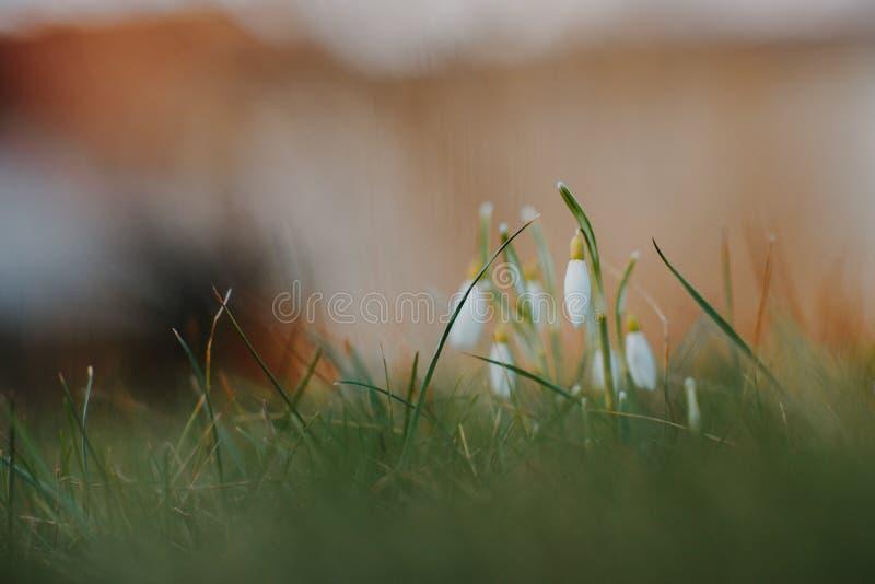 Le perce-neige fleurit au printemps photographie stock libre de droits