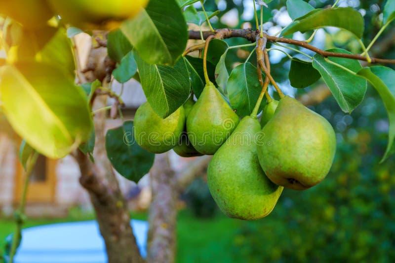 le pere mature aspettano per il raccolto in un frutteto della pera in fotografia stock libera da diritti