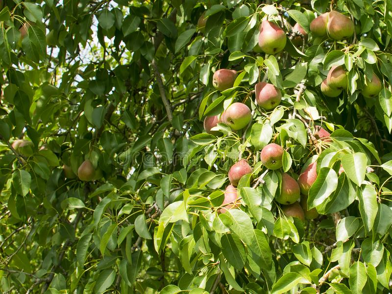 Le pere si sviluppano su un albero Frutti maturi e succosi Raccolta vegetarianism Giardinaggio immagini stock