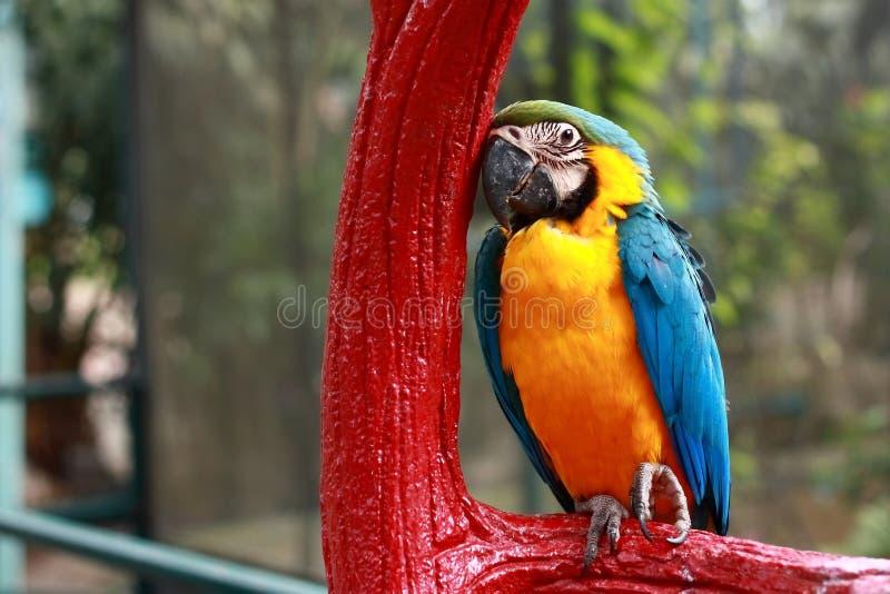 Perroquet somnolent photos stock