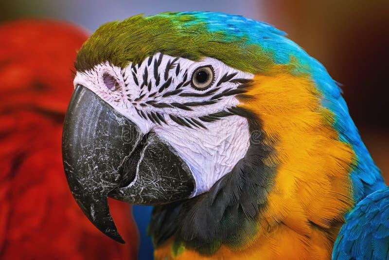 Le perroquet d'ara photos libres de droits