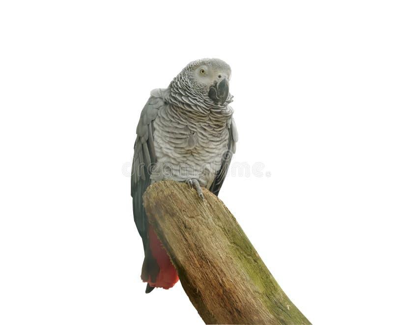 Le perroquet gris africain, erithacus de Psittacus, perroquet gris du Congo est un perroquet de Vieux Monde dans le Psittacidae d image libre de droits