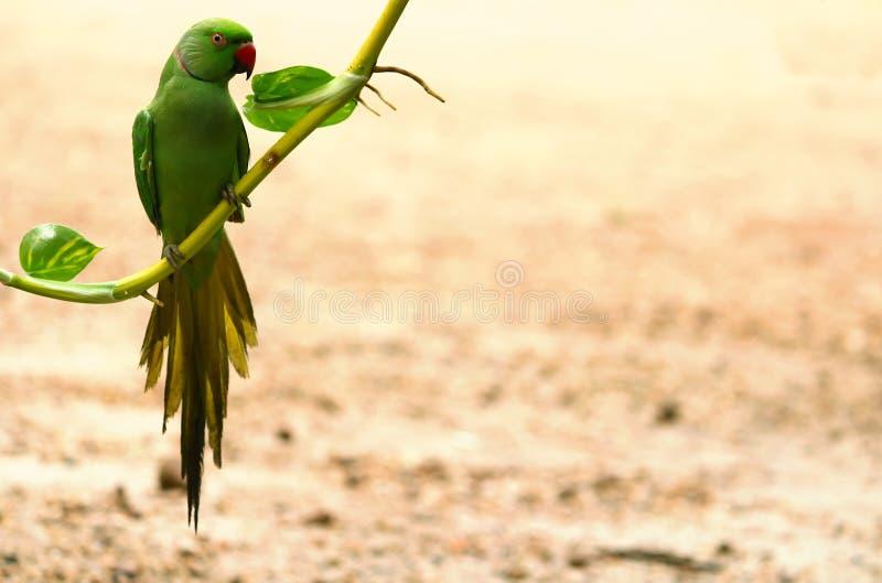 Le perroquet mignon images libres de droits