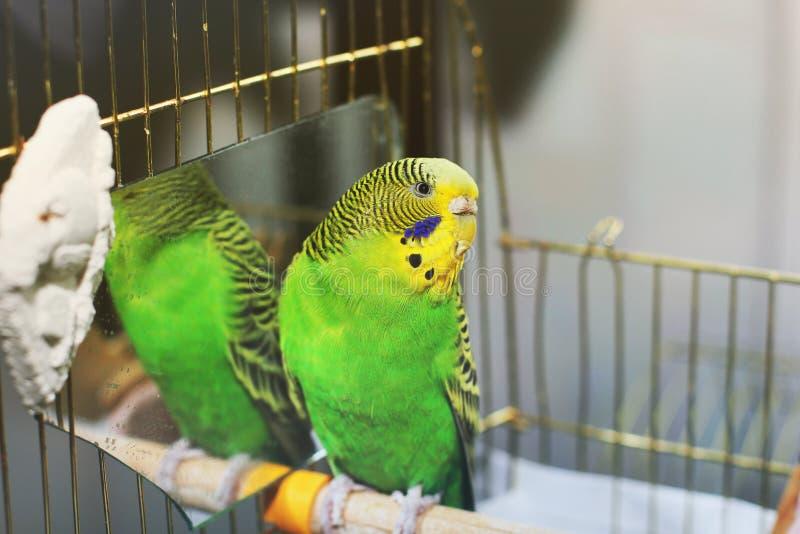 Le perroquet onduleux se repose dans une cage près du miroir photos stock