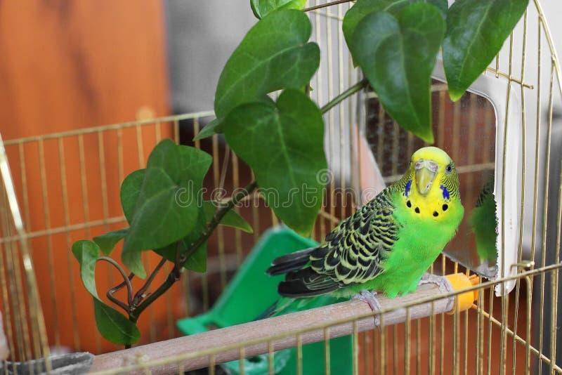 Le perroquet onduleux se repose dans une cage pr?s du miroir photo stock