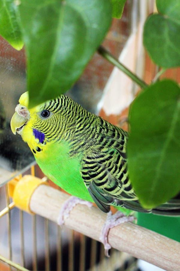 Le perroquet onduleux se repose dans une cage pr?s du miroir photos stock