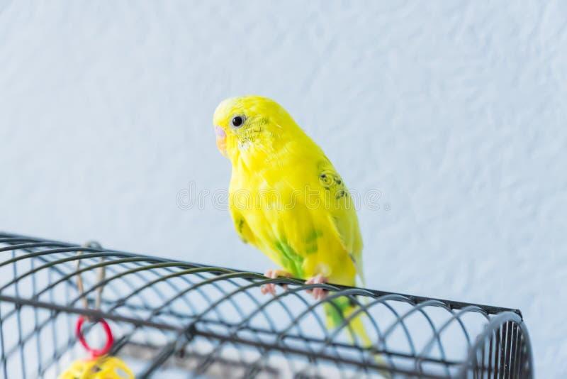 Le perroquet ou la perruche onduleux jaune se repose sur la cage sur le fond bleu photo stock