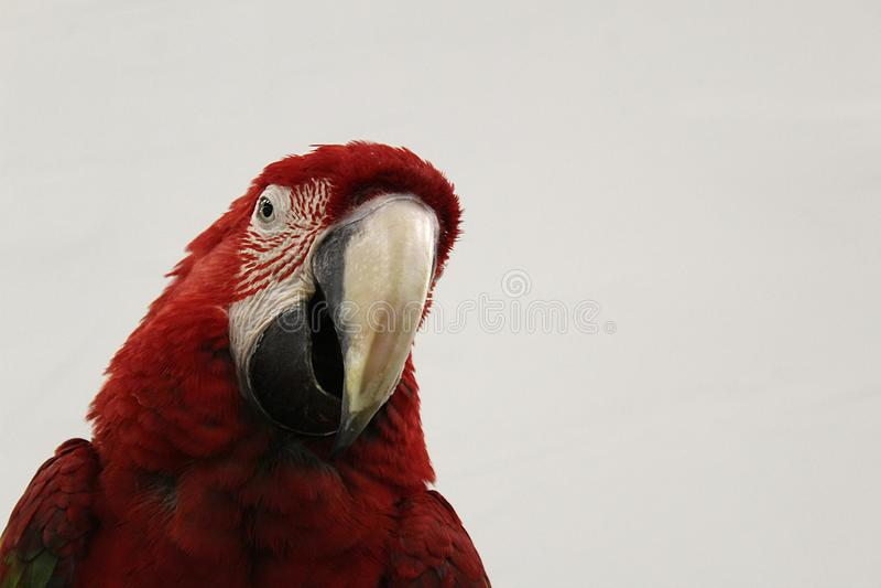 Le perroquet rouge avec un grand bec regarde vers le bas images stock