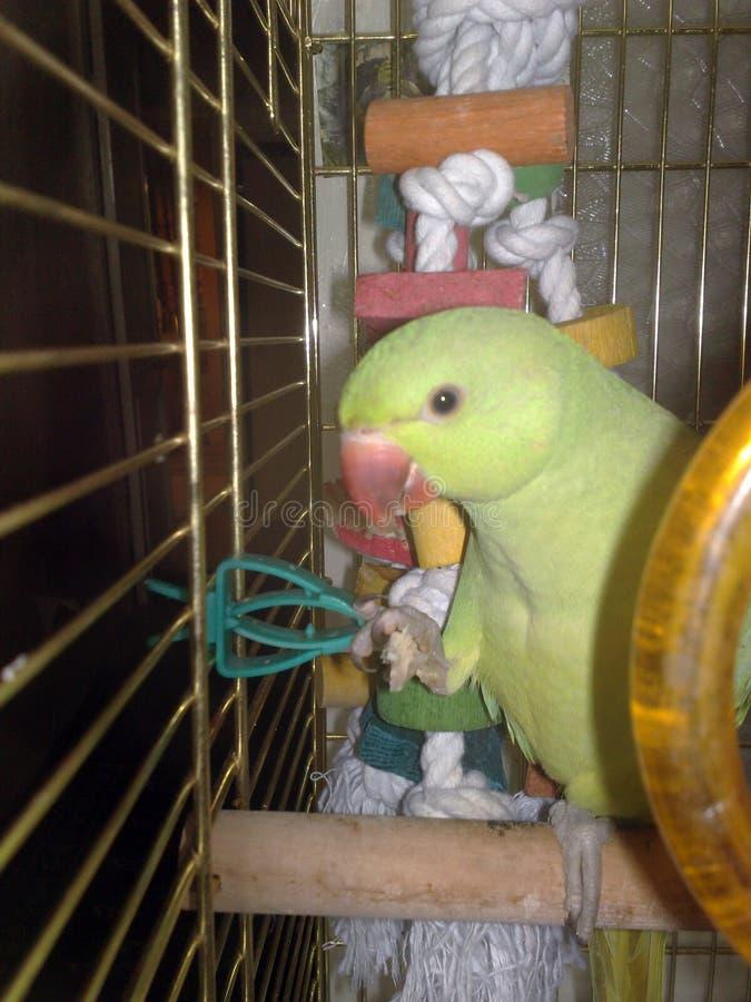 Le perroquet se repose dans une cage images libres de droits