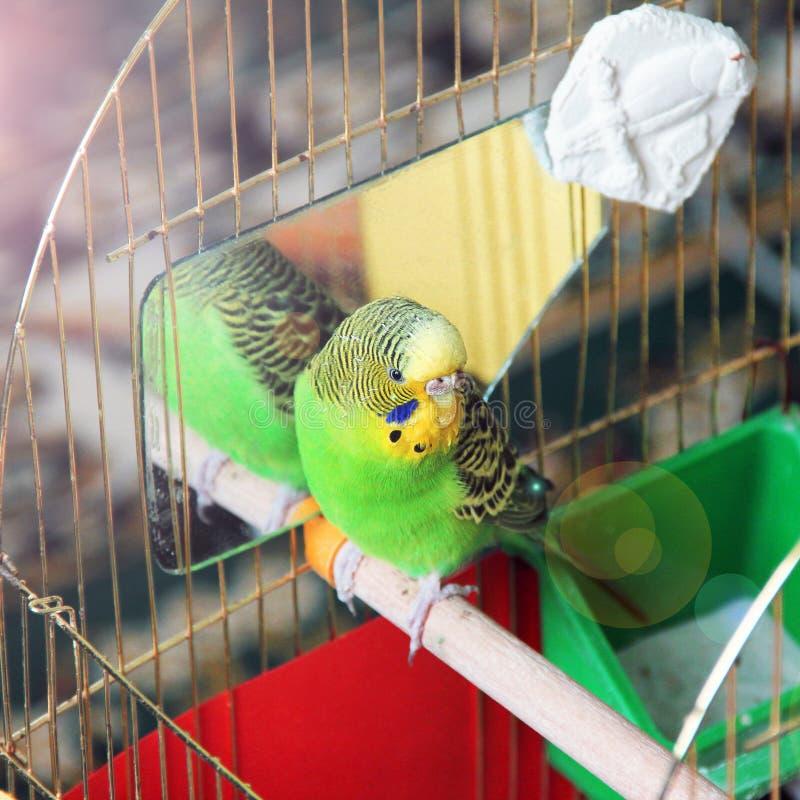Le perroquet se repose dans une cage budgerigar image stock