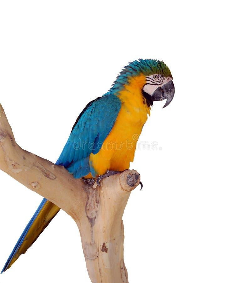 Le perroquet sur un branchement images stock