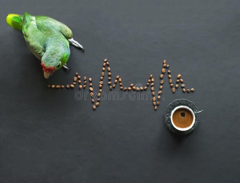 Le perroquet vert apprend un cardiogramme des grains de café sur une table noire Concept médical drôle photos libres de droits
