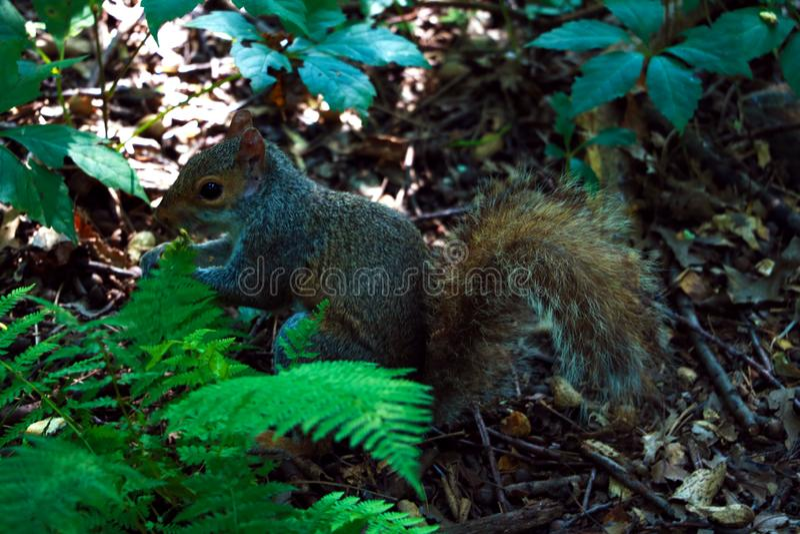 Le petit écureuil se régalant haut dans un arbre image libre de droits